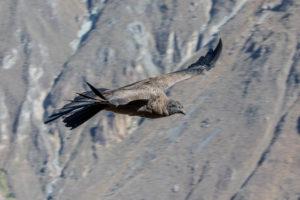 Andenkondor, Condor, Kondor, Peru